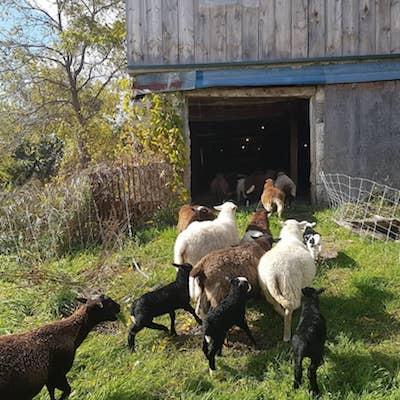 A small group of brown, white and black sheep with lambs heads into a barn on a sunny fall day
