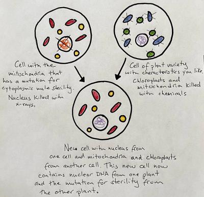 Cell Fusion Cytoplasmic Male Sterility