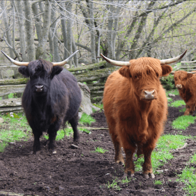 Two highland cows, one black and one red, stand looking at the viewer from a lush pasture bordered by trees in late falll. A third red cow peeks in from the right