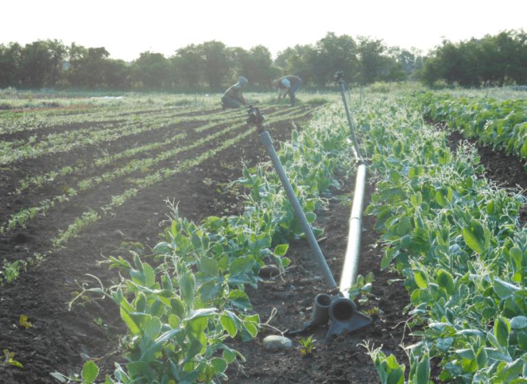Alunimum sprinkler lines in a green field of vegetables