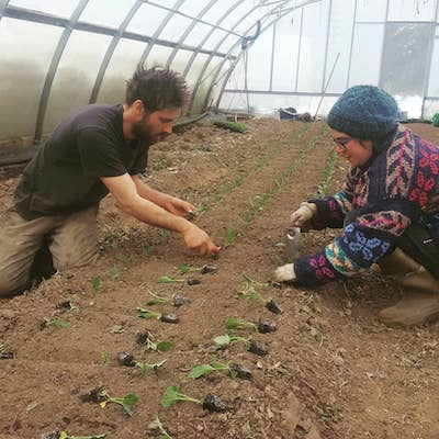 Two people crouching down to transplant green brassica seedlings inside a hoop house
