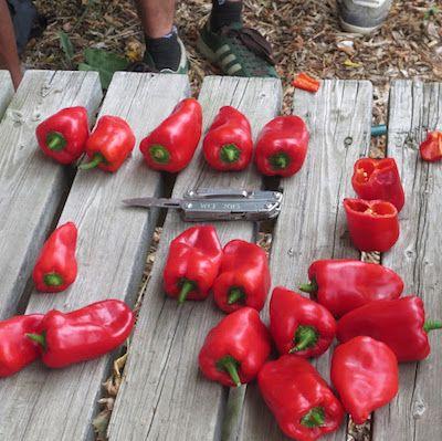 Pepper breeding trial