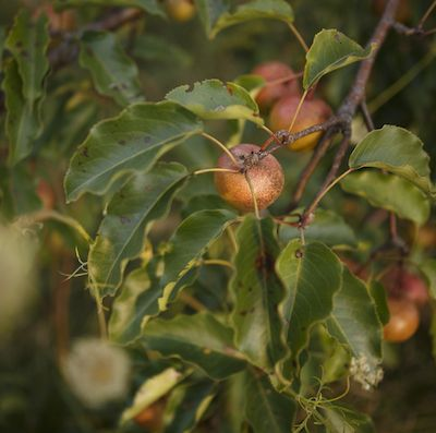 Holistic Teas and Tree Pruning for Healthy Fruit Crops
