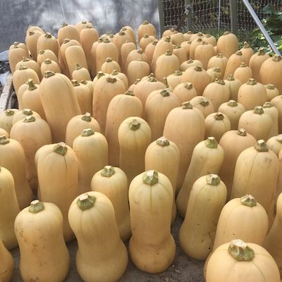 Tan-skinned butternut squashes, stood up with their stems to the sky, fill a storage area at Mount Wolfe farm