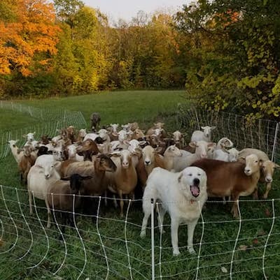 A flock of brown & white sheep stand behind a fluffy white Pyrenees dog, circled by a white fence with a green field and colourful fall trees in the background