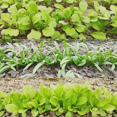 three rows of different salad greens growing in soil