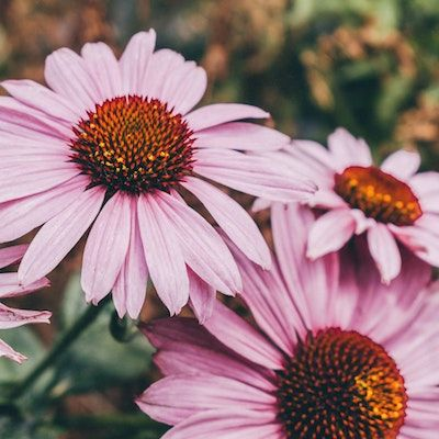Growing Medicinal Herbs and Teas