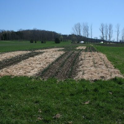 Trial garlic plots in a sunny field with different mulches on each section