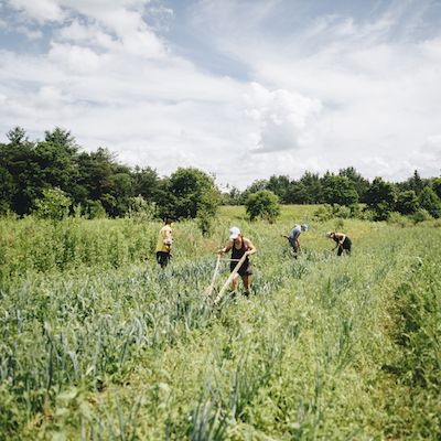 A team of four people works in a green field of garlic under a cloudy but bright sky