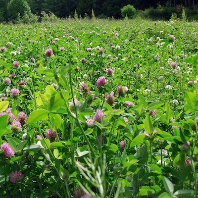 Legumes: Diversification, Crop Rotation & Seed Supply