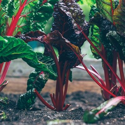 Three red-stemmed chard plants grow in a row, the middle one with dark red leaves, and the others with bright green leaves